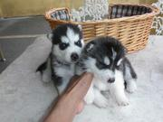 Affectionate Siberian Husky Puppies For Re-homing