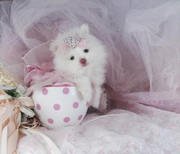 Cute Teacup Pomeranians 10 weeks old