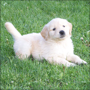 Playful Golden retriever puppies now available
