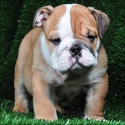 Lovely Male And Female English Bulldog Puppies For Adoption
